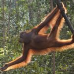 Swinging Orangutan, South Kalimantan