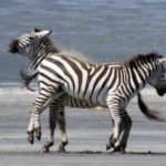 Zebra Fight in Ngorongora
