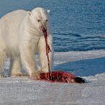 Polar Bear With Seal
