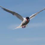Arctic Tern by Naomi Ward