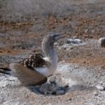 Blue Footed Boobie Protecting Chick from Heat by Pat Svanberg