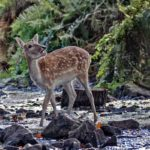 Young fallow dear drinking at woodland stream by Wendy Collens