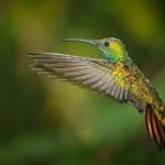 2nd – A Hovering Green Breasted Mango Hummingbird by Wendy Collens