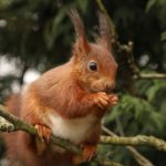 A Red Squirrel by Pat Svanberg