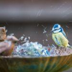 Blue Tit Bathing by Ian Newell
