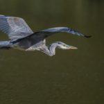 Gray Heron In Flight by Ian Newell