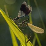 Banded Demoiselles at first light by Linda Kent