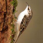 Treecreeper by Linda Kent
