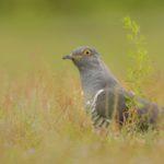 Male Cuckoo by Linda Kent