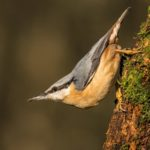 Nuthatch posing by Linda Kent