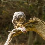 Buzzard (wild) lunching in the Woods by Sally Seager