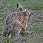 Hare Having Wash and Brush Up by Sally Seager