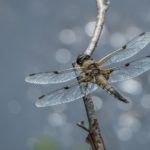 Four Spotted Chaser by Vivien Smith