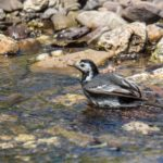 Pied Wagtail Bathing by Vivien Smith
