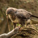 Wild Buzzard with Prey by Vivien Smith