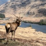 Young Stag in Glen Etive by Vivien Smith