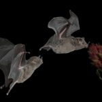 Bats searching for nectar by Wendy Collens