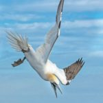Gannet Diving by Wendy Collens