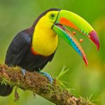 Keeled billed toucan regurgitating pips by Wendy Collens