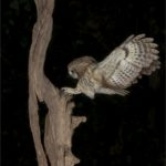 Wild Tawney Owl with Catch by Wendy Collens