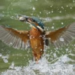 Kingfisher with catch by Wendy Collens