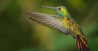 A hovering green breasted mango hummingbird by Wendy Collens