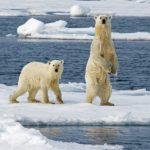 Polar bears, mother and cub
