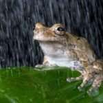 Tree frog in the rain