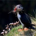 Puffin With Nesting Material