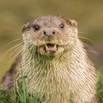 Slimey otter