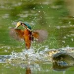 Kingfisher beats the larger Fish by Basil Groundsell