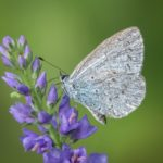 Holly Blue by Lesley Taylor