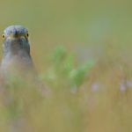 Spotted by the Cuckoo by Mark Pirie