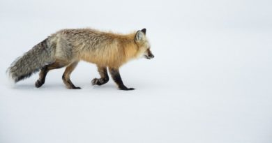 Yellowstone Red Fox by Mark Pirie