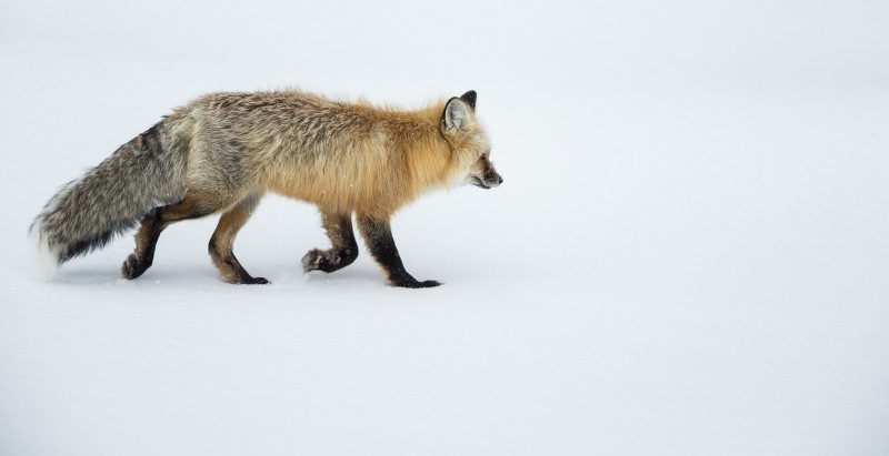Yellowstone Red Fox by Mark Pirie