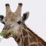 Giraffe by Pat Svanberg