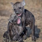 Hyena Babies by Lesley Taylor