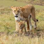 Lion walking with Cub in Massai Mara by Basil Groundsell