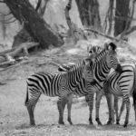 Zebras by Pat Svanberg