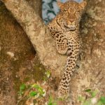 Leopard looking for prey - Massai Mara by Basil Groundsell