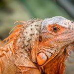 Green Iguana by Kerry Turner
