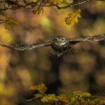 Little Owl in Autumn by Ian Newell