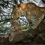 Basil Groundsell for Leopard with Cub in a Tree