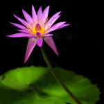 David Mason for Water Lily
