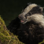 Ian Newell for Badger looking for food