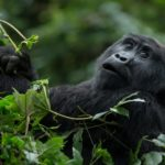Mountain Gorilla, Bwindi, Uganda by Mark Pirie