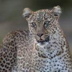 Female Leopard Maasai Mara by Lesley Taylor