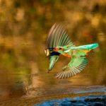 Kingfisher Flying by Linda Kent