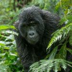 Mountain Gorilla, Bwindi Forest by Mark Pirie