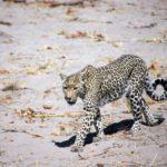 Leopard on the Hunt by Pat Svanberg